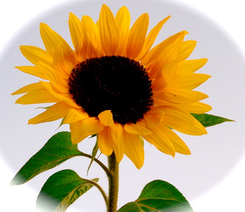 summer sunflowers andrea - photo #3
