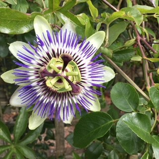 passion flowers light up the early autumn garden.....