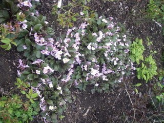 Primroses colonise a shady spot…..
