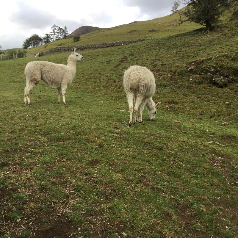 Alpacas in Newlands Valley. They are friendly and a bit too curious as to what one might taste like!