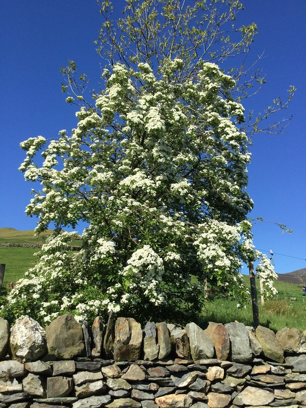 hawthorn scenting the air in the hot morning sun....