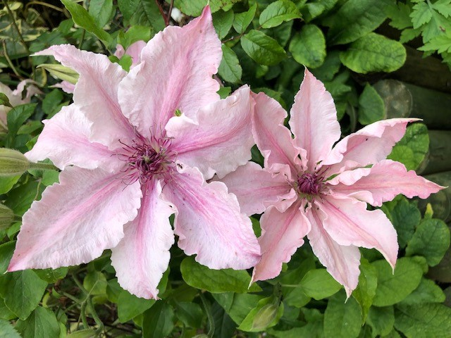 clematis in July